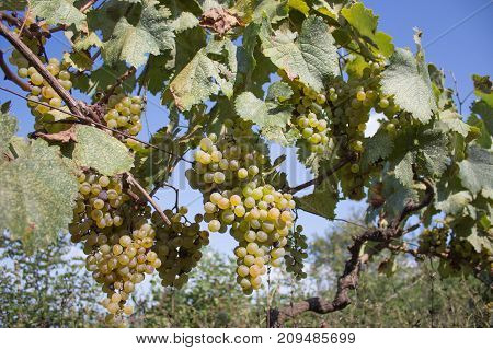Sunny bunches of white wine grape on vineyard. Yellow ripe grapes in the vineyard