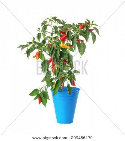 Chili pepper bush in flowerpot, isolated on white