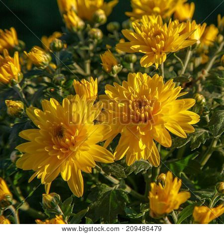 Blooming Of A Yellow Chrysanthemum In Green Leaves In A Bouquet At The Daytime