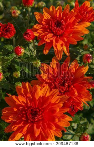 Blooming Of A Red Chrysanthemum In Green Leaves In A Bouquet At The Daytime