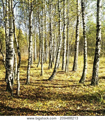 Birch grove in autumn season with желтыми sheet at solar day