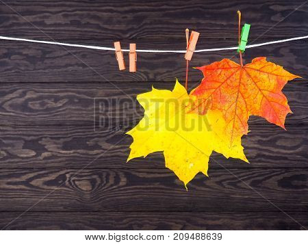 Fresh, Colorful Autumn Leaves Of Maple On A Rope With Clothespin, Copy Space
