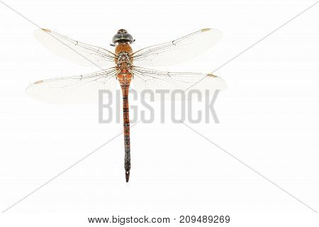 Dried dragonfly isolated on a white background
