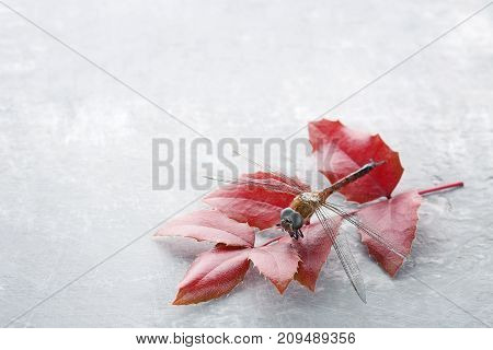 Dried dragonfly with leafs on grey background
