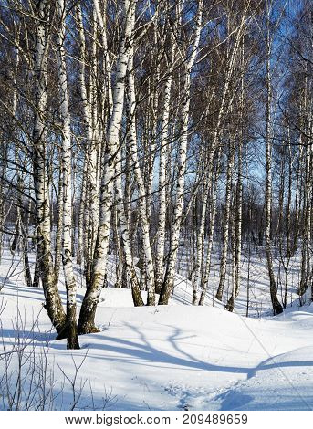 Winter landscape with white birch on background blue sky