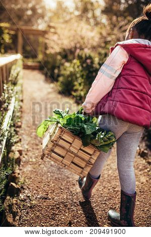 Rear view of little girl carrying basket full of plants in the farm. Young girl with basket walking through garden.