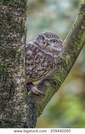A close up of an alert  captive little owl perched in the fork of a tree peeping out from behind the trunk