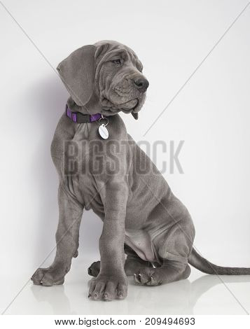 Purebred blue Great Dane puppy sitting on a white background