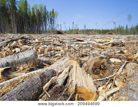 Lots of trees down in a logging operation in Saskatchewan