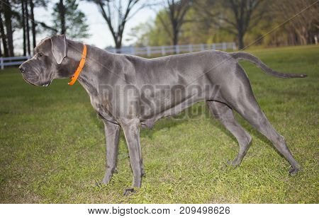 Purebred Great Dane that looks like it is ready to attack