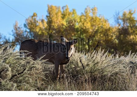 Wild White-tailed Deer on the Colorado Prairie