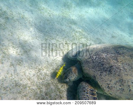 sea turtle and her friend yellow fish