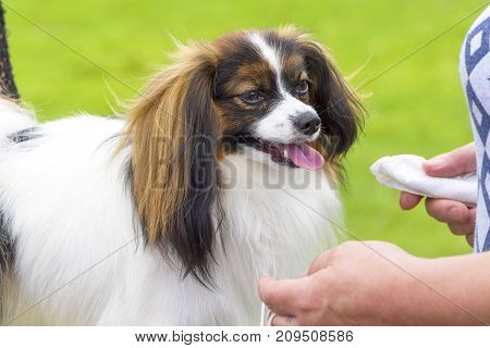 Continental toy spaniel Falen Dog. Space under the text. 2018 year of the dog in the eastern calendar Concept: parodist dogs, dog friend of man, true friends, rescuers.