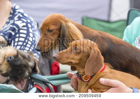 Two dogs are dachshunds, long-haired or short-haired. Space under the text. 2018 year of the dog in the eastern calendar Concept: parodist dogs, dog friend of man, true friends, rescuers.