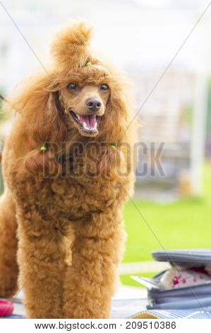 Dog poodle looks at camera, tonsured and combed. Space under the text. 2018 year of the dog in the eastern calendar Concept: parodist dogs, dog friend of man, true friends, rescuers.