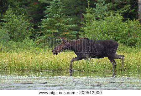 Bull moose grazing in marsh in Algonquin Park