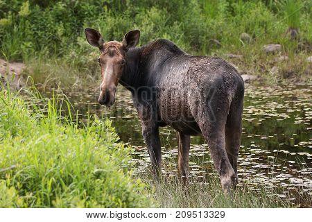Moose grazing in marsh in Algonquin Park