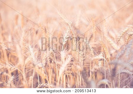 Photo of spikelets on blurred background