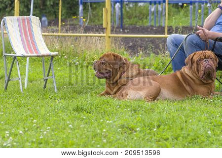 Two huge brown mastiffs lay on the green grass. Background of green blurry grass. Space under the text. 2018 year of the dog in the eastern calendar. Concept: parodist dogs, dog friend of man, true friends, rescuers.