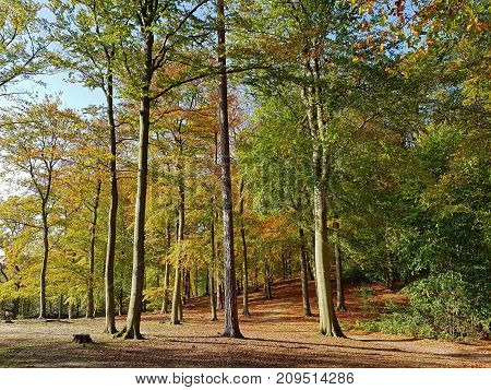 Colourful autumnal beech forest in contre-jour light