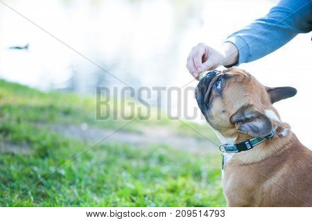 Dog. French bulldog portrait close-up. The owner's hand gives the dog a treat. Space for text. Summer background.
