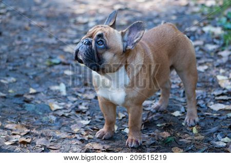 Dog. French bulldog stands in the autumn foliage. Autumn background. Space for text.