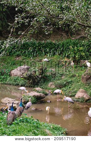 Yellow-billed stork and Indian Peacock in a pond of the Kuala Lumpur Bird park, Malaysia. Birds fishing in shallow muddy river water with river and grasses in background