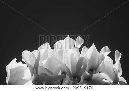 Flower petals in black and white high contrast.