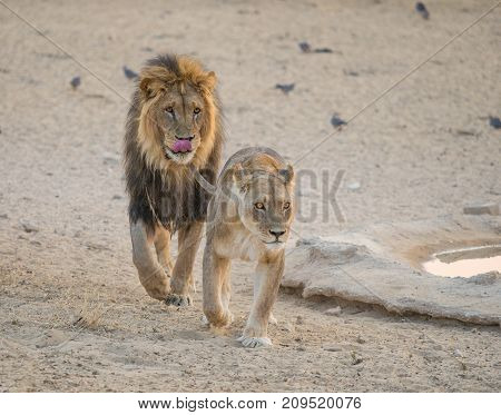 A courting pair of lions in the Kgalagadi Transfrontier Park straddling South Africa and Botswana.