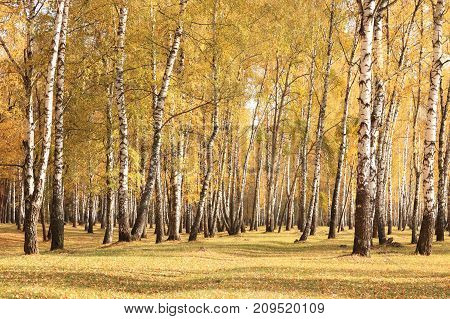 beautiful scene in yellow autumn birch forest in october with fallen yellow autumn leaves and dry herb