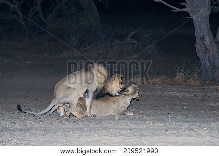 A pair of lions mating at night in the Kgalagadi Transfrontier Park straddling South Africa and Botswana.