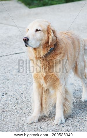 A golden retriever dog pet on driveway of house.