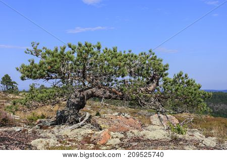 Life out of nothing, Twisted, short, robust pines. Pinus sylvestris on poor, lean soil.