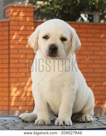 Little Labrador Puppy On A Blue Background
