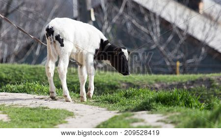 small calf in nature . In the park in nature