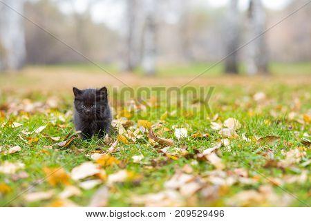 Black little kitten at the autumn meadow among fallen leaves