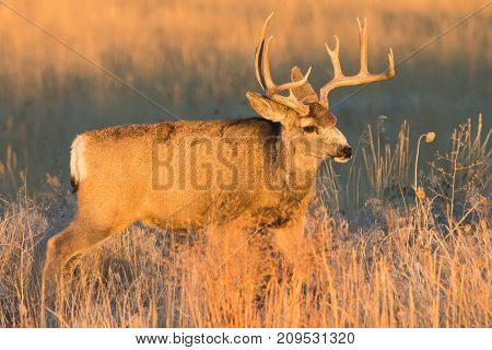 Mule Deer buck on the Colorado Prairie lit by the rising sun.