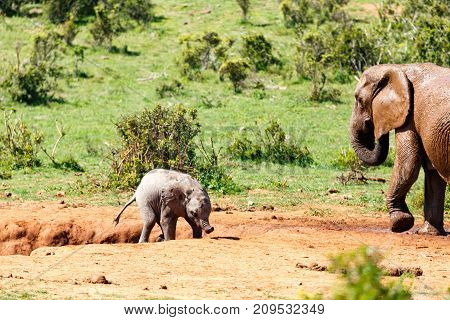 Baby Elephant Trying To Climb Out Of The Watering Hole