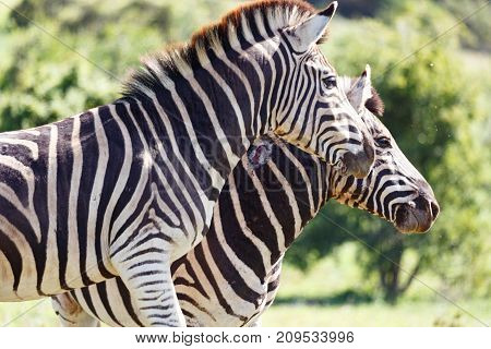 Zebras standing together in the field in Addo