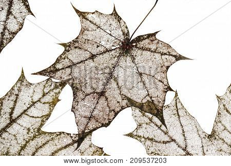 background of polularmechanics dry old maple leaves with carved pattern isolated on white