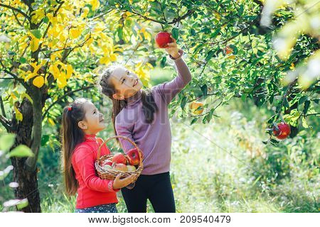 Two smiling girls tear red apples from a tree.