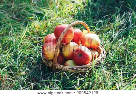 Wicker basket on green grass full of red apples