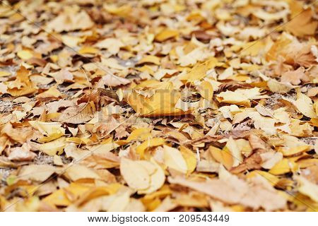 Background Group Autumn Orange Leaves. Outdoor. Maple Yellow Leaves Background Texture. Beautiful Ca