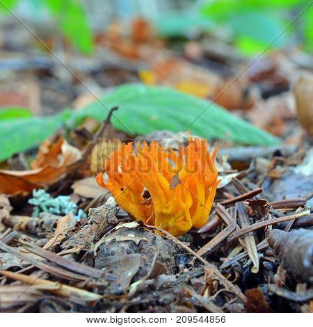 Calocera viscosa jelly fungus also known as the yellow stagshorn