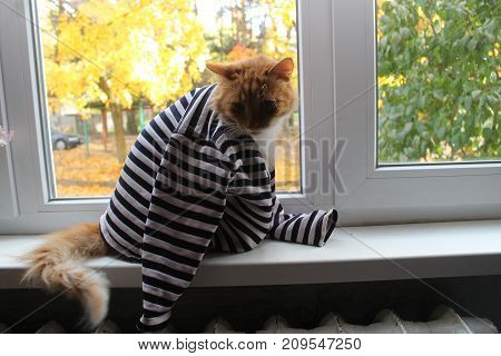 fluffy orange color cat in striped shirt warms on the window in autumn day