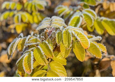 Autumn Autumn Frost first frost Forest Frost Frost On The Leaves Frost On The Plants Frozen Forest Frozen Leaves Frozen Leaves Of Rose Hips Frozen Plant Grove Late Autumn Nature Rose Hips In The Frost Wild Rose Bush