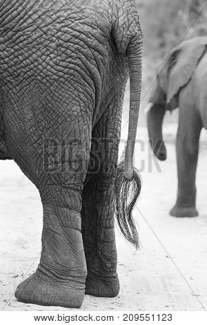 Side on view of an African Elephant rear and tail in artistic conversion