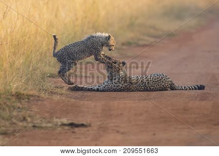 Cheetah cub playing with its mother in a road