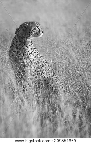 Female cheetah sitting in long brown grass in the early morning sun