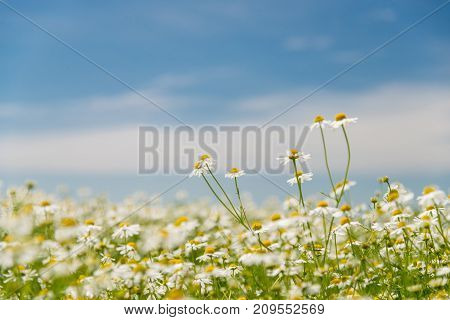 Blooming Chamomile On The Field
